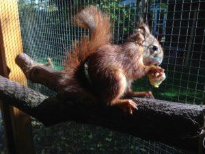 Eichhörnchen Mäxchen hatte Dank der Homöopathie nach seinem Unfall noch eine schöne Zeit